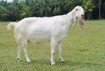 Etawa Goat