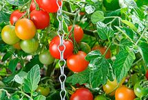 TOMATOES / Different variety of tomatoes