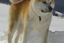 Wanko Heaven / Akita Inu, Kai Inu, Kishu Inu, Shiba Inu, Shikoku Inu, Hokkaido Inu and so on. These Japanese dogs are living through ages and still popular in Japan. Cute and Beautiful!