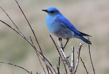 Bluebirds / by Tina Richey