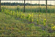 Uprawa winorośli / Pokazuję wszystkie prace i moje rozwiązania związane z uprawą winorośli