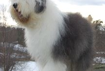 Old english sheepdog / Hunder