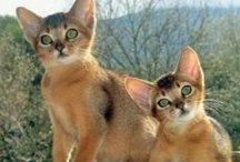 Abyssinian Cats / by W. Eric Rau