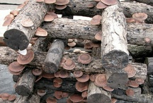 Growing Shiitake Mushrooms / This is a board dedicated to growing Shiitake mushrooms (Lentinula edodes) from home. We'll collect ideas for growing Shiitake on logs, sawdust, from BRF Tek's, and various other mushroom growing methods!