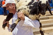 Do Good Shepherds Break the Legs of Sheep Who Wander? / Bible prophecy prepares us to think of the Messiah as a Good Shepherd, one who does not break the legs of His sheep who wander as a popular myth suggests.