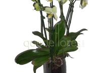 Para él / A ellos también les gustan las flores, sorpréndele