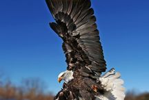 vulturu