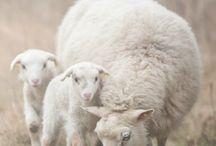 Sheep/får