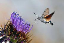 kolibri vlinder