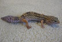 My Leopardgecko Drogon / This is my little leopardgecko Drogon. He is amazing! Feel free to comment.