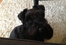 Tessie, my adorable minischnauzer / Pictures of my cute little dog
