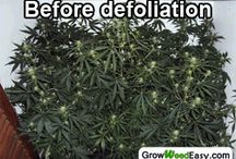 Defoliation - Cannabis Training Technqiue / Learn about defoliation, a cannabis plant training technique to increase yields when growing indoors. For Advanced Growers only! / by Nebula Haze