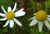 Matricaire inodore - Scentless chamomile