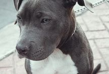 Beauty pitbull top