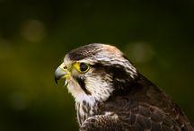 ANIMAL • Hawk