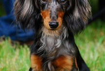 Dachs / I have a longhaired miniature dachs called Twiggy