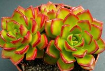 Succulents: Sedeveria / by Roger Domeny