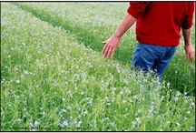 Flax cultivation / Culture du lin