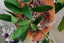 Orquídeas plantada  em coco
