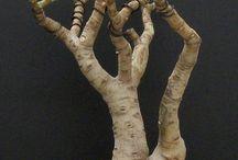 Crassula ovata bonsai