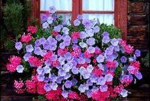 como cultivar violetas de persa