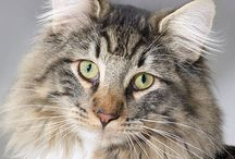 CATS Norwegian Forest Cat