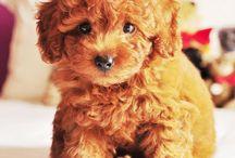 Puppy / 우리 푸들이