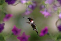 ANIMAL • Hummingbird
