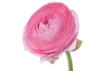 Ranunculus / I really like how ranunculus flowers look wonderful in craft projects or DIY flower designs. / by Flower Muse