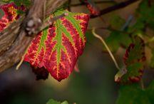 Green / Leaf in the Vineyard