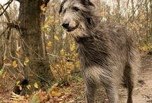 Perros Razas / Perro Paseador, recolecta los mejores pines sobre razas de perros.