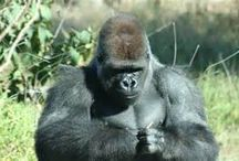 Contest / Contest for Naming a Gorilla in a story. Win 3 books and a personal thanks on the acknowledgement page of the book, Armageddon, Book Three of The God Chronicles. Contest runs 11/20/2014 - 12/31/2014.
