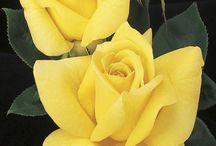 Rózsák / Rózsák szépségéről
