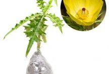 Kanker dan Tumor / Semua tanaman dalam board ini bisa dikirim keseluruh Indonesia, silahkan order ya, tel: 0341-599399 I SMS center: 08569020300 atau kunjungi website kami www.kebunbibit.id