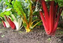 The Mangold Vegetables – The Unknown Super Food