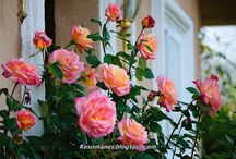 garden: roses / by cottonwood