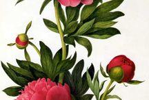 peonia, rose