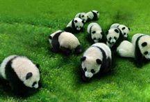 panda / by Felissa Elfenbein (TwoLittleCavaliers)