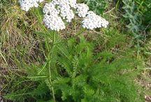 Herbs: Yarrow