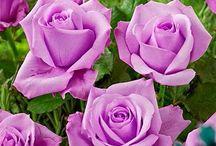 flower perple