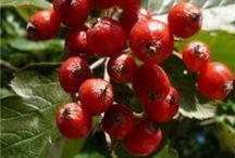 Védett növényeink A-Á-B-C-Cs-D / Magyarországi védett növények listája