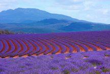 Beautiful lavendar