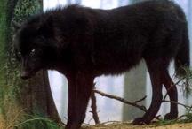 i<3wolves / by Rachel Richardson