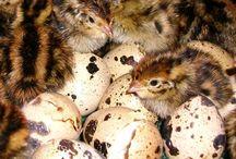 Vagtler quail