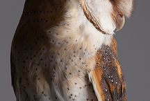 owl tyto images