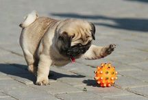 Photos of Pugs