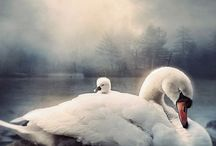 Swans / by Guusta Grapendaal