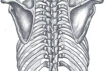 ramenny pletenec 3D anatomy