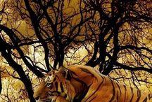 Smukke tigre