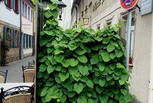 Rankende Pflanzen
